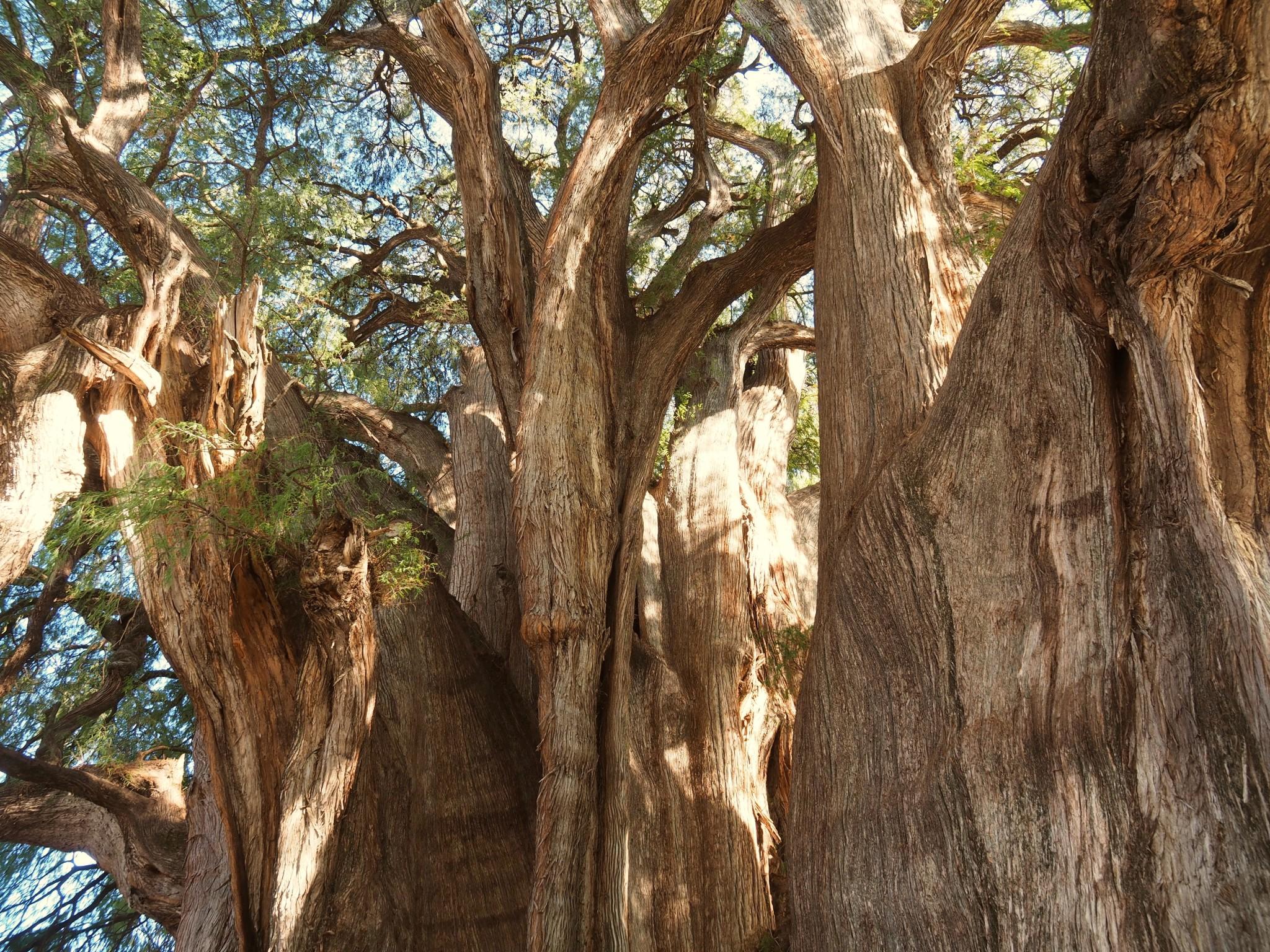 Nur ein Ausschnitt des größten Baumes der Welt