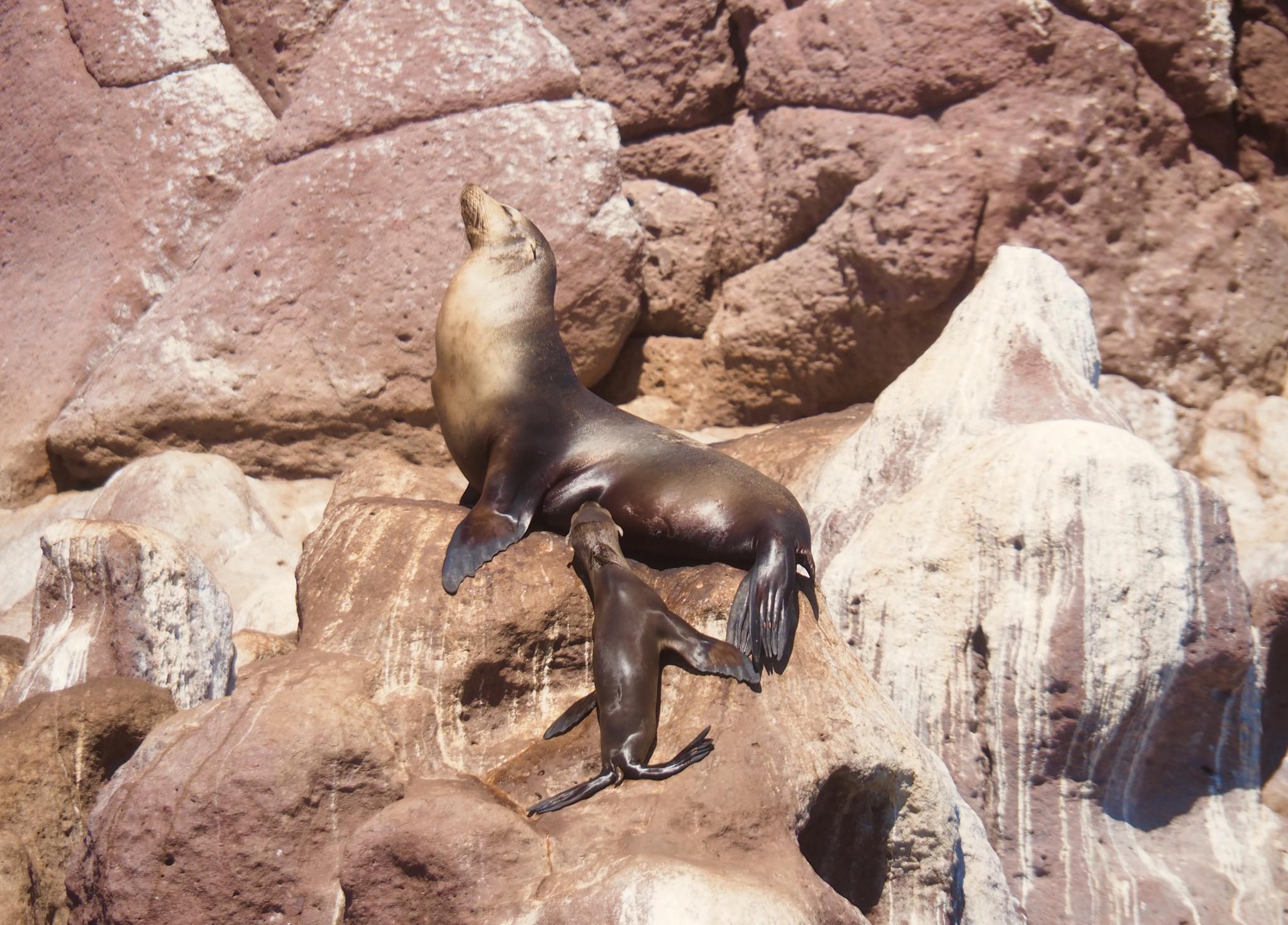 Säugende Seelöwen-Mama auf Espiritu Santo